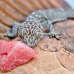 Geckon bara lyfte huvudet ett par millimeter när den fick vattenmelon